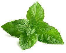 Peppermint (Mentha × piperita) 250 seeds Grow your own herb * ez grow CombSH E11
