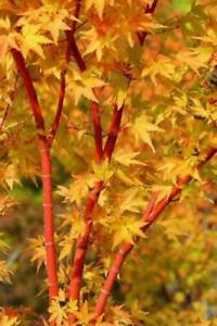 Acer Palmatum Sango Kaku Coral Bark Maple Baby Tree in 10.5cm pot