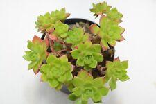 Pianta di Crassula Red Edge Piante grasse succulenti vaso 10 grassa