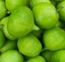 Kadota Fig, Cold Hardy, LIVE POTTED PLANT, Fruit Tree; Green fig