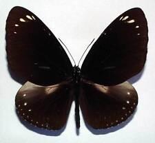 EUPLOEA CRAMERI SSP from KARIMATA - unmounted butterfly