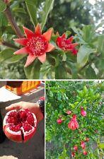 Ganatapfel frosthart Blumen winterharte Pflanzen für den Balkon Garten Topf Deko