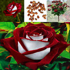 New 100pcs/Bag Red & White Osiria Ruby Rose Flower Seeds Home Garden Plant