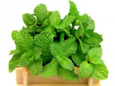 Apple mint; pineapple mint, woolly mint, round-leafed - - 1200 seeds