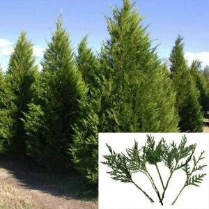 "30 Leyland Cypress 8"" Tree Cuttings Privacy Screen 3-5 FT/year Fast Growing"
