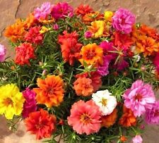 Moss Rose Double Portulaca Grandiflora mix color 1000 seeds CombSH B84