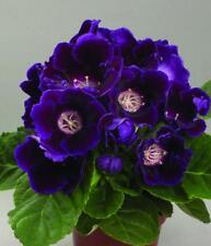 Gloxinia Seeds Blue F1 room flowers Ukraine 5 pelleted seeds