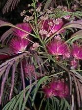 Albizia Summer Chocolate PURPLE MIMOSA TREE Seeds!
