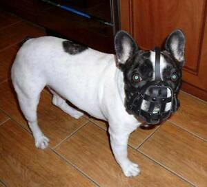 Light leather Dog Muzzle for French Bulldog Frenchies other short snout dog's .