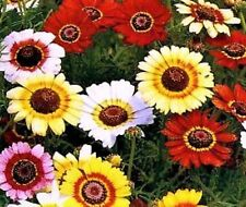 Beautiful Painted Daisy Seeds 200 Seeds  -BUY 4 ITEMS FREE SHIPPING