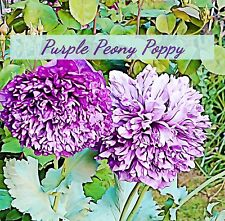 Purple Peony Poppy Seeds  100 plus seeds in each pack