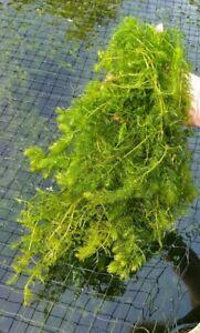 Hornwort Ceratophyllum Demersum FLOATING Oxygenating Aquatic Plant - Pond Weed