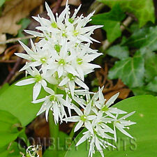 WILD GARLIC (RAMSONS) - EDIBLE WILD FLOWER - 100 SEEDS - wildflower seed
