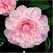 60 Seeds Camellia Japonica Japanese Camellia Tea Flower Rose Bulk Seed Gardening