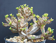 Euphorbia AUREOVIRIDIFLORA, @J@ exotic madagascar rare bonsai cacti seed 5 seeds