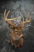 "SKU 1601 Whitetail Deer Taxidermy Shoulder Mount SCI 156 2/8"" Spread 19 3/8"""