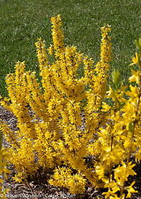 """Show Off™ Sugar Baby Forsythia 'Ninbus' PPAF - Compact - 4"""" Pot - Proven Winners"""