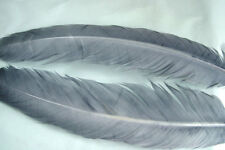 2 x Quill de Dinde GRIS BLEU  plume decoratif creation  federn feather turkey