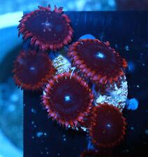 New listing Pink Widow Palythoas Live Coral Wysiwyg