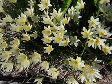Rain Lily, Zephyranthes Aquarius, 3 bulbs, RARE, habranthus