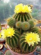 Parodia warasii, exotic flowering cacti rare flower cactus notocactus 50 SEEDS