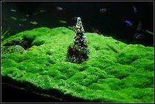 Hemianthus callitrichoides Cuba 4x8cm  plante aquarium avant plan crevettes