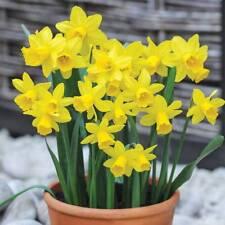 Bolly Bulbs®.Miniature Tete a Tete Daffodils,12/25/50/100,Spring flowering bulbs