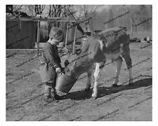 1930s era vintage photo-Little farm boy feeding calf-bucket-milk jugs-cow-8x10in