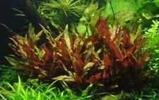 Plantes aquatiques vivantes roses pour aquarium