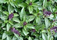CINNAMON BASIL Ocimum Basilicum Herb Seeds (25 seeds) V-012