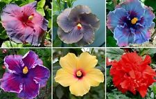 25+ Seeds * Hibiscus Rosa-Sinensis * Tropical Rose Mix * Hybridizers freely!