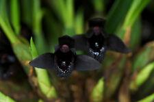 Black Orchid Species Maxillaria schunkeana Near Bloom Size