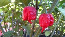Carolina Reaper Strain Chilli 10 Seeds World's Hottest Chilli