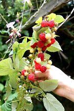 "Raspberry ""Heritage"" (Ribus idaeus) x 1 plant. Ask for combined postage"