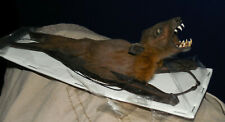 CYNOPTERUS SPHINX REAL HANGING BACK REAL BAT INDONESIA TAXIDERMY