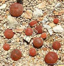 RARE LITHOPS MARIAE C141 plant exotic living stones ice succulent seed -15 SEEDS