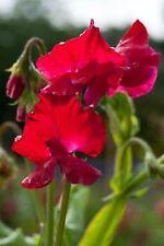 30+ Scarlet Red Most Fragrant Sweet Pea Flower Seeds / Lathyrus / Reseeding Ann