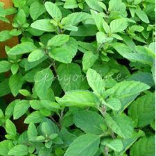 1000pcs Herb Green Mint Spearmint Peppermint Mentha Viridis Plants Seeds