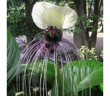 White Bat Plant Seeds Unusual Flowers Tropical/Subtropical Protected or Indoors