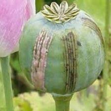 Afghan Blu  -  2.500 opium poppy seeds  -  1 gram  -  Blue Papaver Somniferum