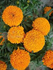 Aztec marigold Perennial Flower seed 50 seeds Tagetes erecta African yard Bonsai