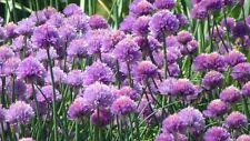 Native pond plant collection (Allium, Menyanthes, Veronica & Typha angustifolia)