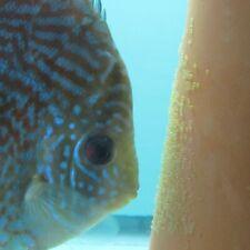 """Imperial Blue Discus 1.5-2"""" Live Tropical Freshwater Aquarium Fish"""
