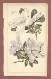 """Azalea   Indica  Coerulescens,   vintage print,   """" Plate II """"     JX20"""