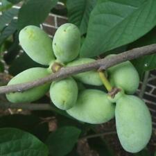 6 PAW PAW FRUIT TREE Indian Banana Asimina Triloba Flower Seeds
