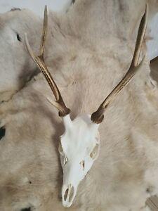 BEAUTIFUL  SIKA DEER SKULL, 6 POINTS, 600g. Antlers 29cm.