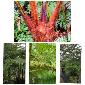 Giant Leaf Tree Fern VERY RARE!! Thyrsopteris Elegans! Spores.Tropical plant