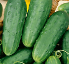 HOMEMADE PICKLES CUCUMBER SEEDS 50+ Vegetable GARDEN pickling FREE SHIPPING
