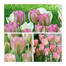 Lot 75 Greenland Tulips x 50 Flower Bulbs.Green and Pink Flowers.Spring Bargain