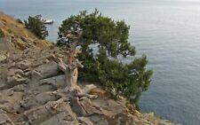 Juniperus Excelsa SSP polycarpos 10 Semi